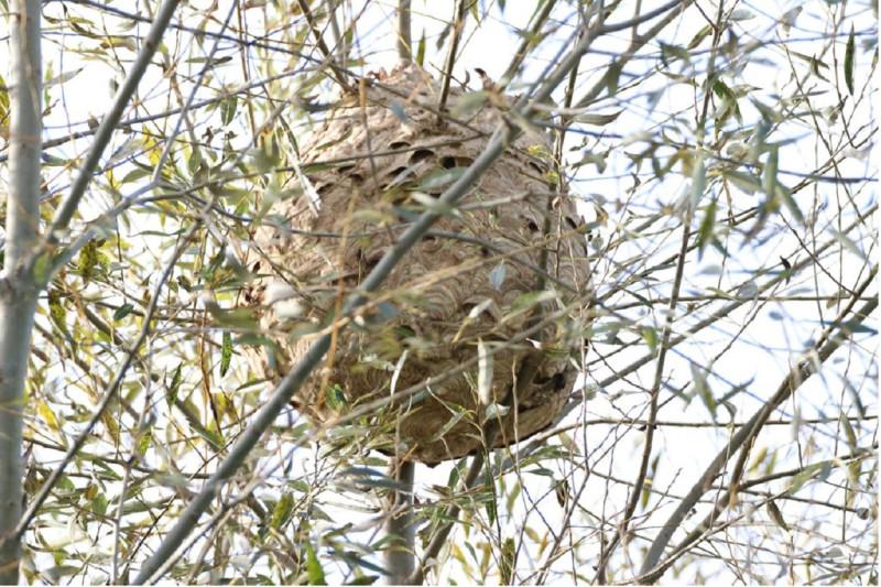 aziatischehoornaar-nest-copyright-VespaWatch-1250