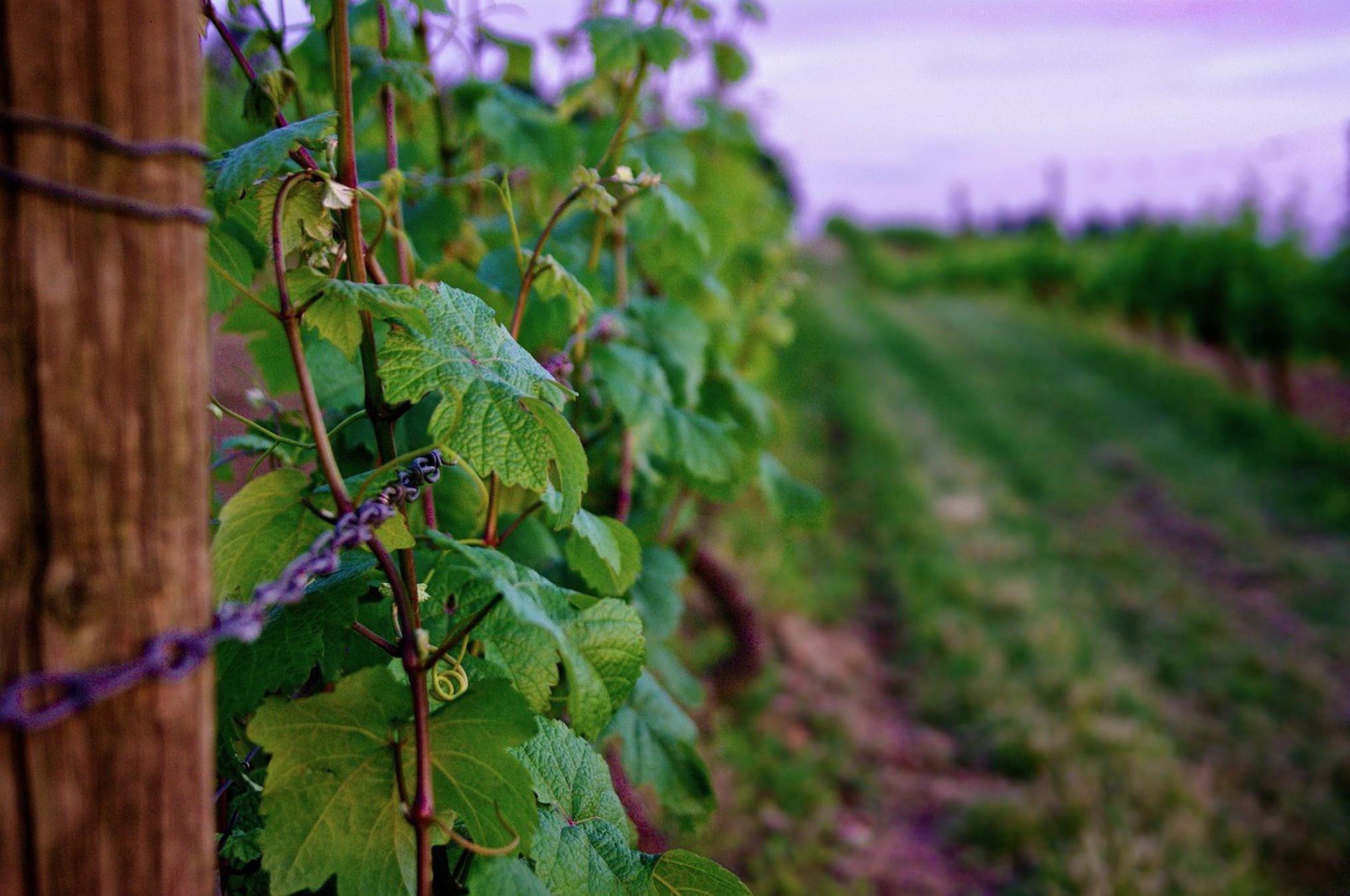 wijngaard-wijnbouw-druivenrank-1280