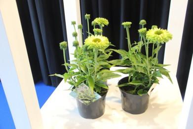 florallbeurs-echinacea