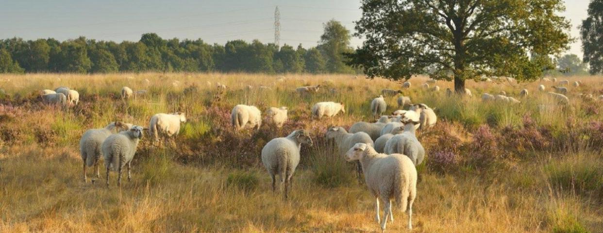 schapen-schaap-begrazing-heide-Ecopedia van de Vlaamse overheid-1250