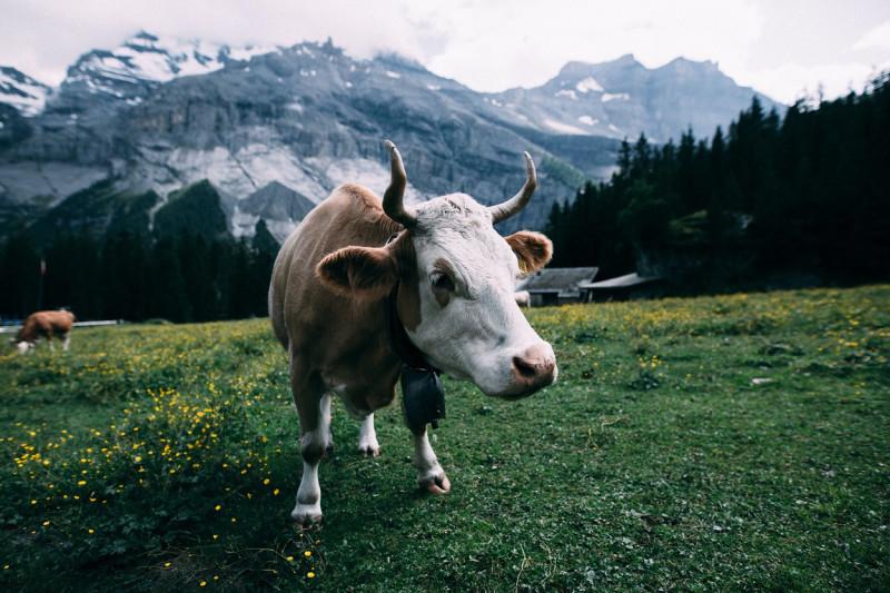 zwitserland-koe-1250