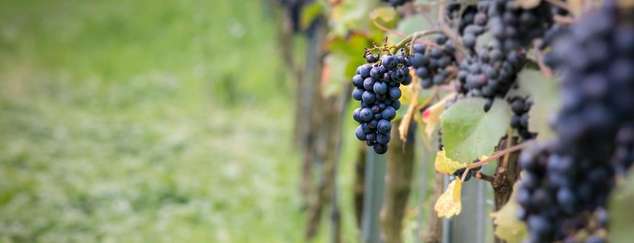 wijngaard-druif-druiven-1280