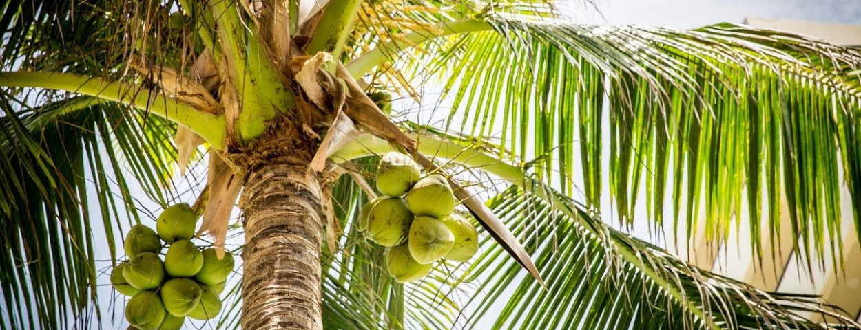 kokosnoot-palm-1280