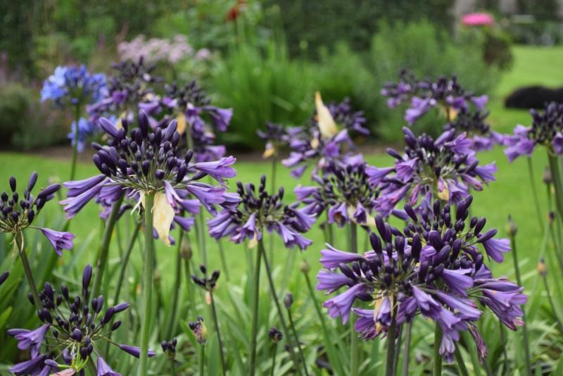Agapanthus 'Poppin Purple' won zilver bij de Florall award uitreiking