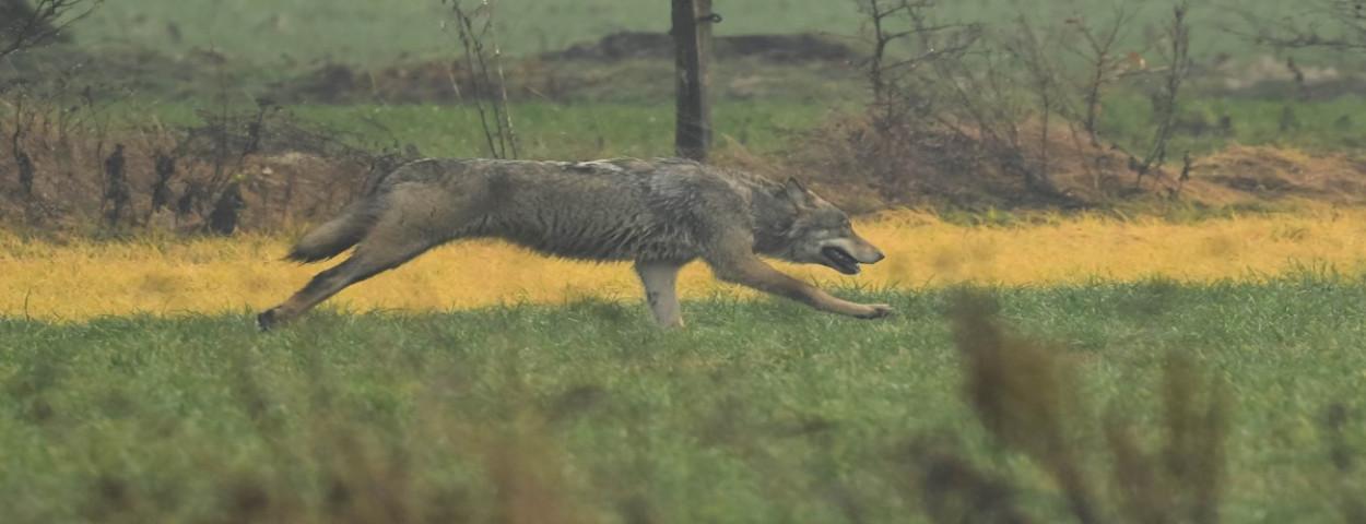 Wolf in Limburg_02_ foto door Robby Scheelen
