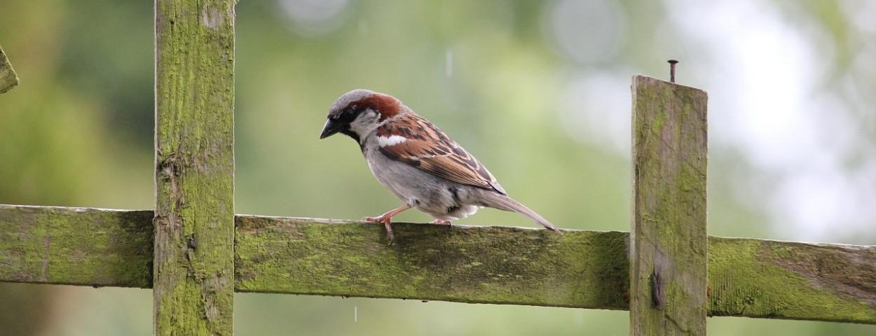 huismus-vogel-1280