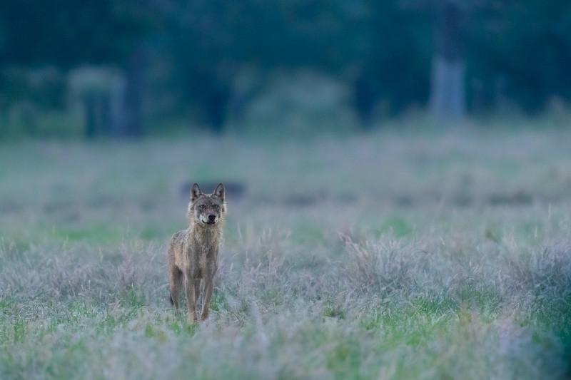 wolf-billy-copyright-PieterJanDhondt-1250
