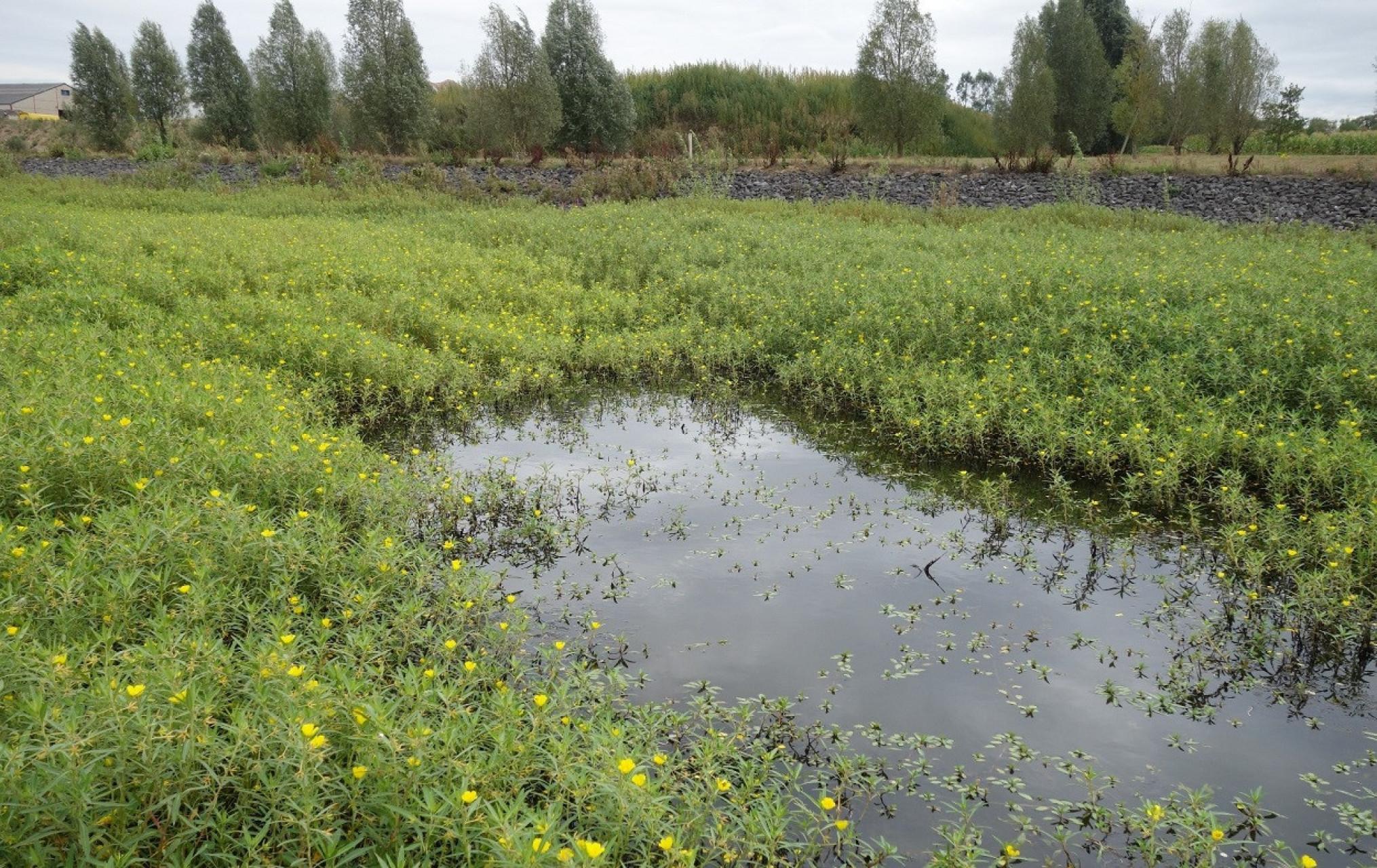invasieveuitheemsesoort-waterteunisbloem-EBranquart-1250