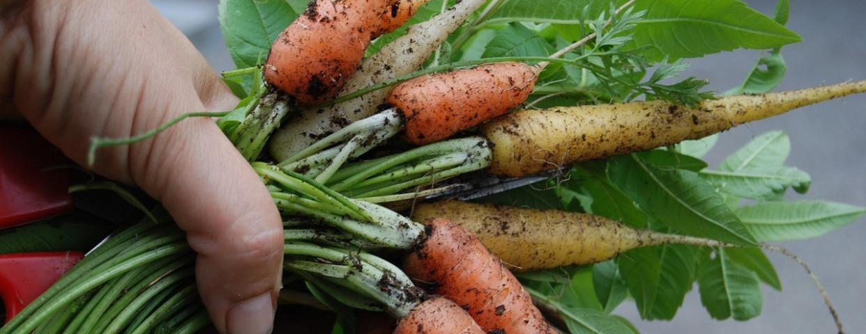 wortelen-oogst-bontje-korteketen-1280