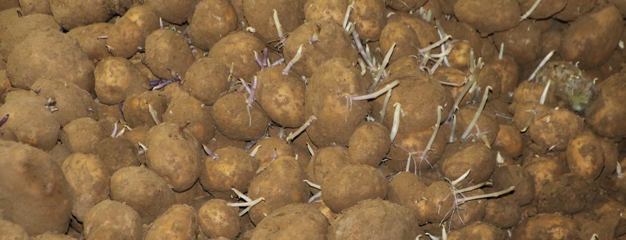 aardappelen gekiemd CIPC kiemremmer