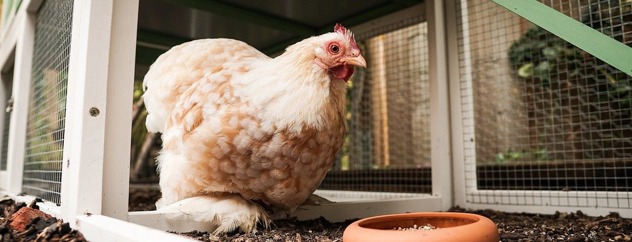 pluimvee-kip-ophok-vogelgriep