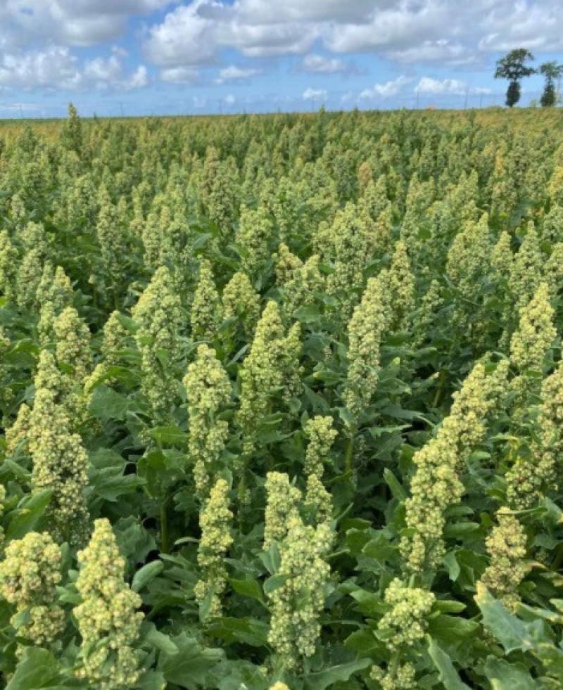 quinoa-carrefour-eigenkweek-teelt-469